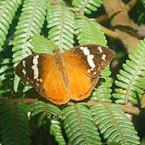 Aterica rabena BOISDUVAL, 1833, endémique. Parc national d'Andasibe-Mantadia, 900 m (Madagascar), 27 décembre 2013. Photo : T. Laugier