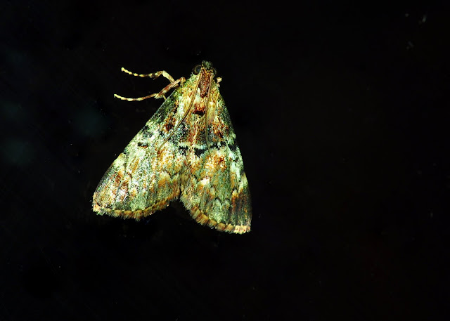Probablement (ou sp. voisine) : Notodontidae : Notodontinae : Neostauropus viridissimus BETHUNE-BAKER, 1904, mâle. Umina Beach (New South Wales, Australie), 31 mars 2011. Photo : Barbara Kedzierski