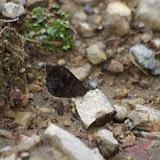 Pronophila orcus orcus (LATREILLE, [1813]). Piste de Gualchan à Chical, 2200 m (Carchi, Équateur), 22 novembre 2013. Photo : J.-M. Gayman