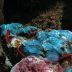 Blue scorpionfish (Bangka Island)