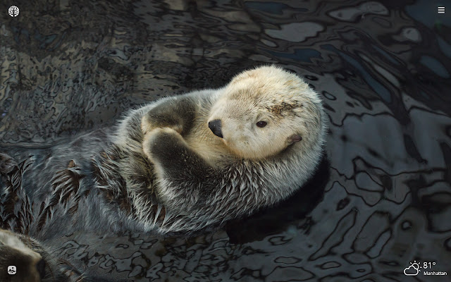 Sea Otter HD Wallpapers New Tab Theme
