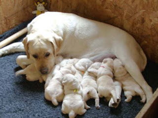 Asti with a pile of pudgy puppies.