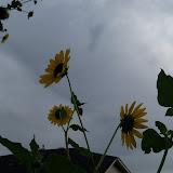 Gardening 2013 - 115_7242.JPG