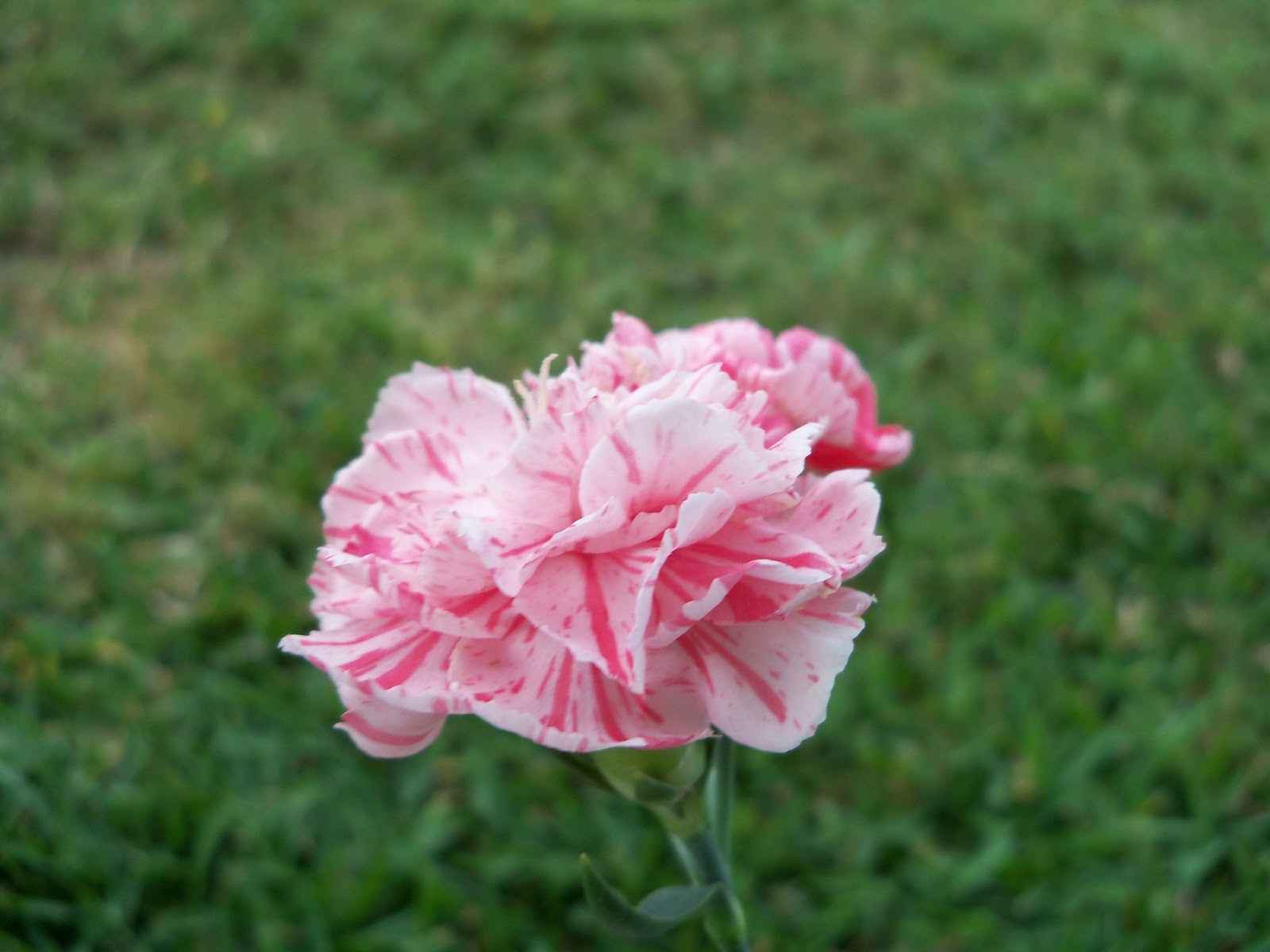 Gardening 2012 - 115_1802.JPG