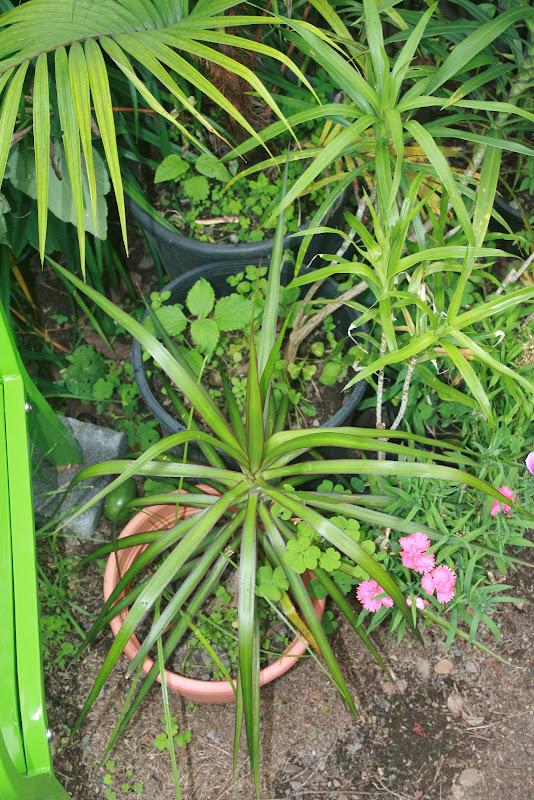 Futur jardin d'orchidées!!! IMG_3542