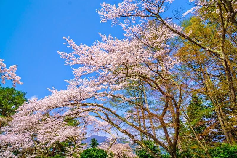 富士ビューホテル 桜 写真1