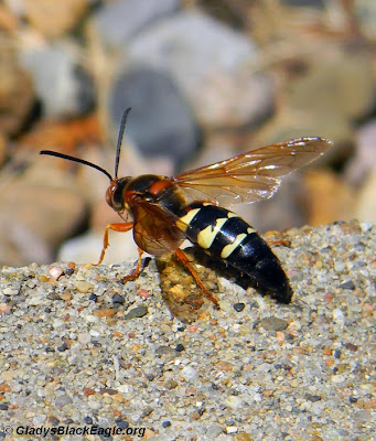 The cicada killer wasp feeds on nectar as an adult, but preys upon cicadas and 17-year cicadas to feed their larvae.
