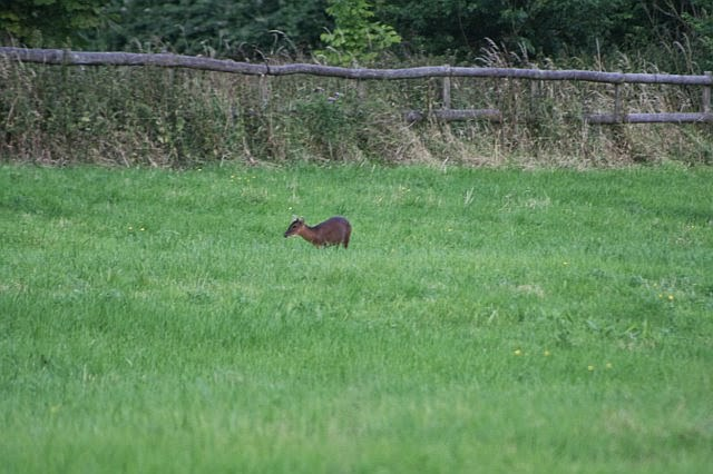 Woodhurst Wildlife Muntjac In The Grassfield - muntjac19.jpg