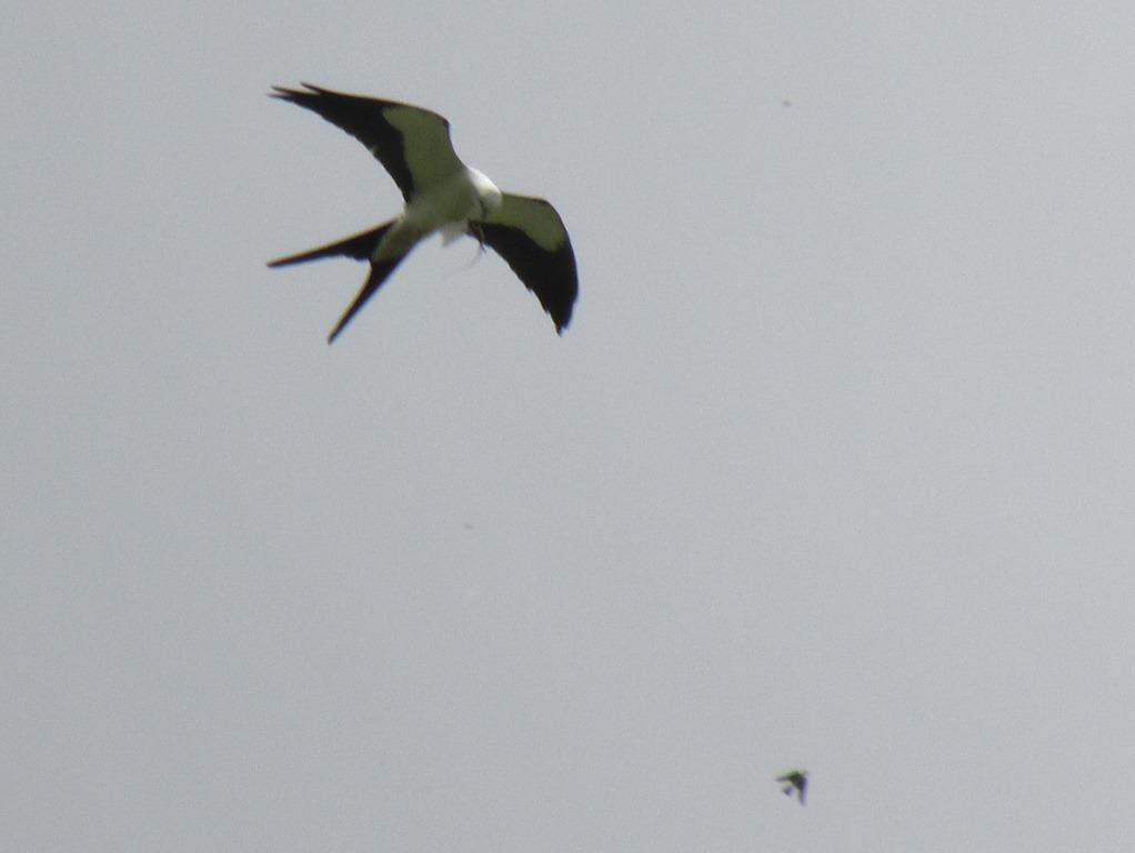 [Swallowtail+Kite%5B6%5D]