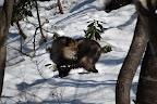 2008/1/18 場所 カモシカの森 in 森のくらしの郷 この時点では固体識別をしておらず、正式には不明固体という記録ですが、どう考えてもこれも 後にビッグママと呼ぶことになる雌固体。 この山のカモシカを追い始めてからもう7年。でも、この写真が撮られた時も一緒に歩いていましたが、出来た写真を見て、目から鱗が落ちました。カモシカを追う・知る・認められる程の調査結果をだす、などなどの疑問が写真一枚で解決。そうそう、カメラが進歩してるんだから、とる人の経験やセンスだけでも、カモシカの素晴らしさを伝える方法はある。 まあ、僕が知る限り、この写真は特別です。撮影は戸谷サトミ。 僕が知る限り、もっともチャーミングなカモシカの写真だと思います。彼女の撮るカモシカは、別の顔を見せるのが不思議。