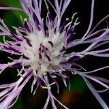 knapweed-flower_MG_9230-copy.jpg