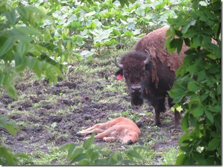 shipshewanna_bison