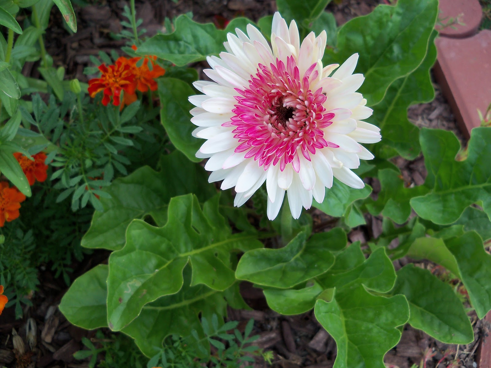 Gardening 2010, Part Two - 101_2991.JPG