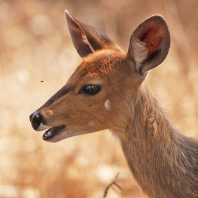 Female Bushbuck Baby, South Africa