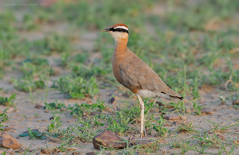 Indian Courser * Cursorius coromandelicus * 23 cms