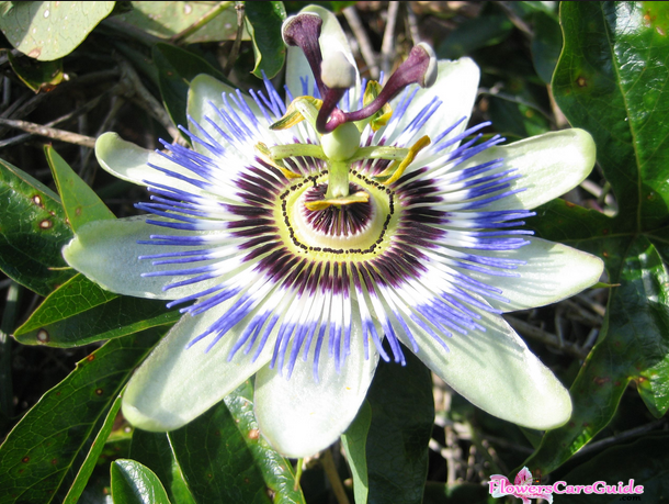 How do you get a passion flower to bloom?
