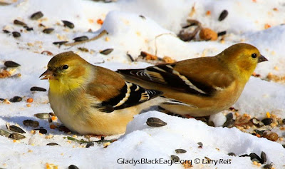 male (left) and female goldfinch in winter drab plumage