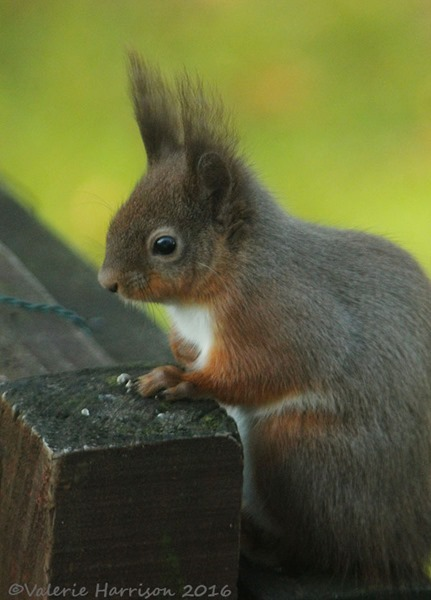 7-red-squirrel
