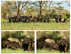 Buffalos, they doesn't look too friendly though!