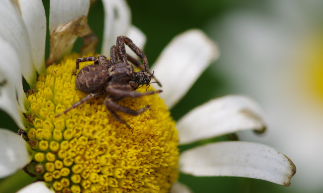 Thomisidae : probablement Xysticus kochi THORELL, 1872. Les Hautes-Lisières (Rouvres, 28), 16 juin 2012. Photo : J.-M. Gayman
