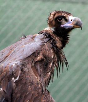110 parejas reproductoras de buitre negro en el Parque Nacional de la Sierra de Guadarrama