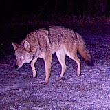 Coyote (by Paul Anderson)