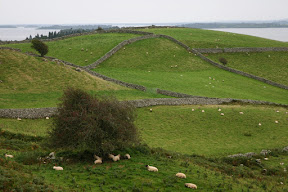 Sheep and stone fences