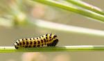 Papilio alexanor larve.jpg