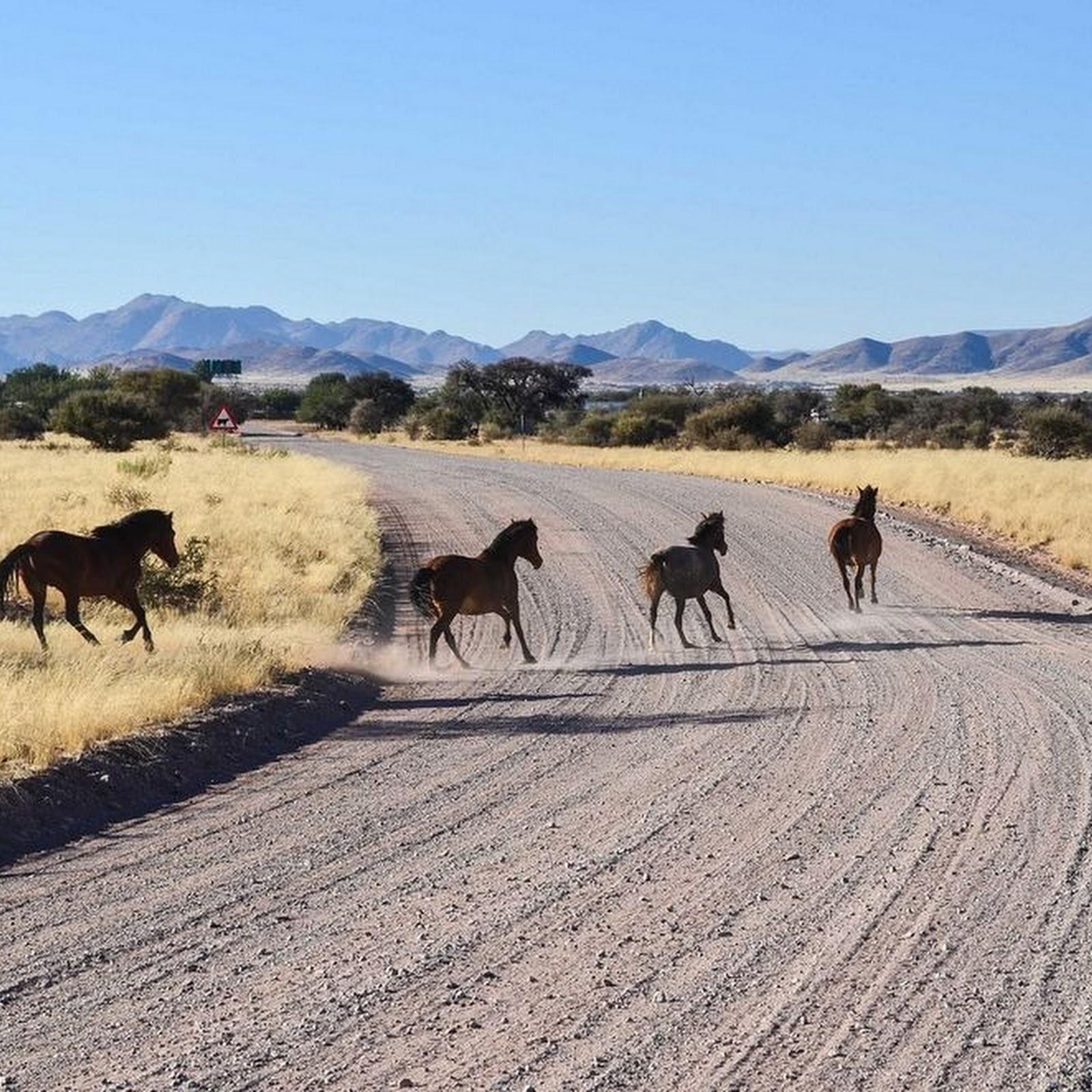 The Wild Horses of Namib Desert