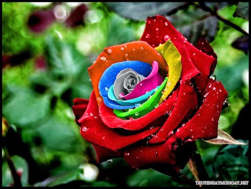 Ngây ngất với những hình ảnh hoa hồng đẹp đa sắc màu