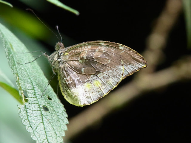 Lieinix nemesis nemesis (Latreille, [1813]). Santa María en Boyacá, 1200 m (Boyacá, Colombie), 16 novembre 2015. Photo : J. Michel
