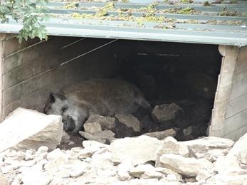 2018.07.19-016 cochon laineux