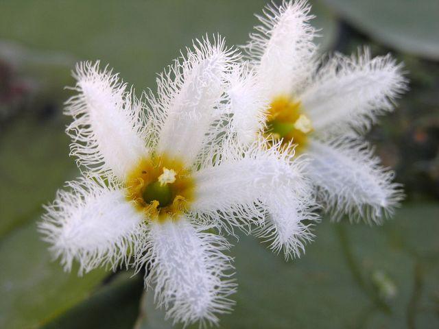 Болотноцветник индийский (Nymphoides indica)