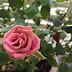 Cara jadikan Pokok Bunga Ros galak berbunga