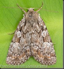 10968.1 Praevia Dart Moth (Xestia praevia)
