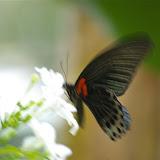 Papilio memnon memnon LINNAEUS, 1758, mâle. Pulau Manukan (Sabah), 20 août 2011. Photo : J.-M. Gayman
