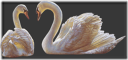 cisnes-buscoimagenes-20_thumb