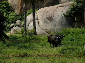 Photo: Water buffalo