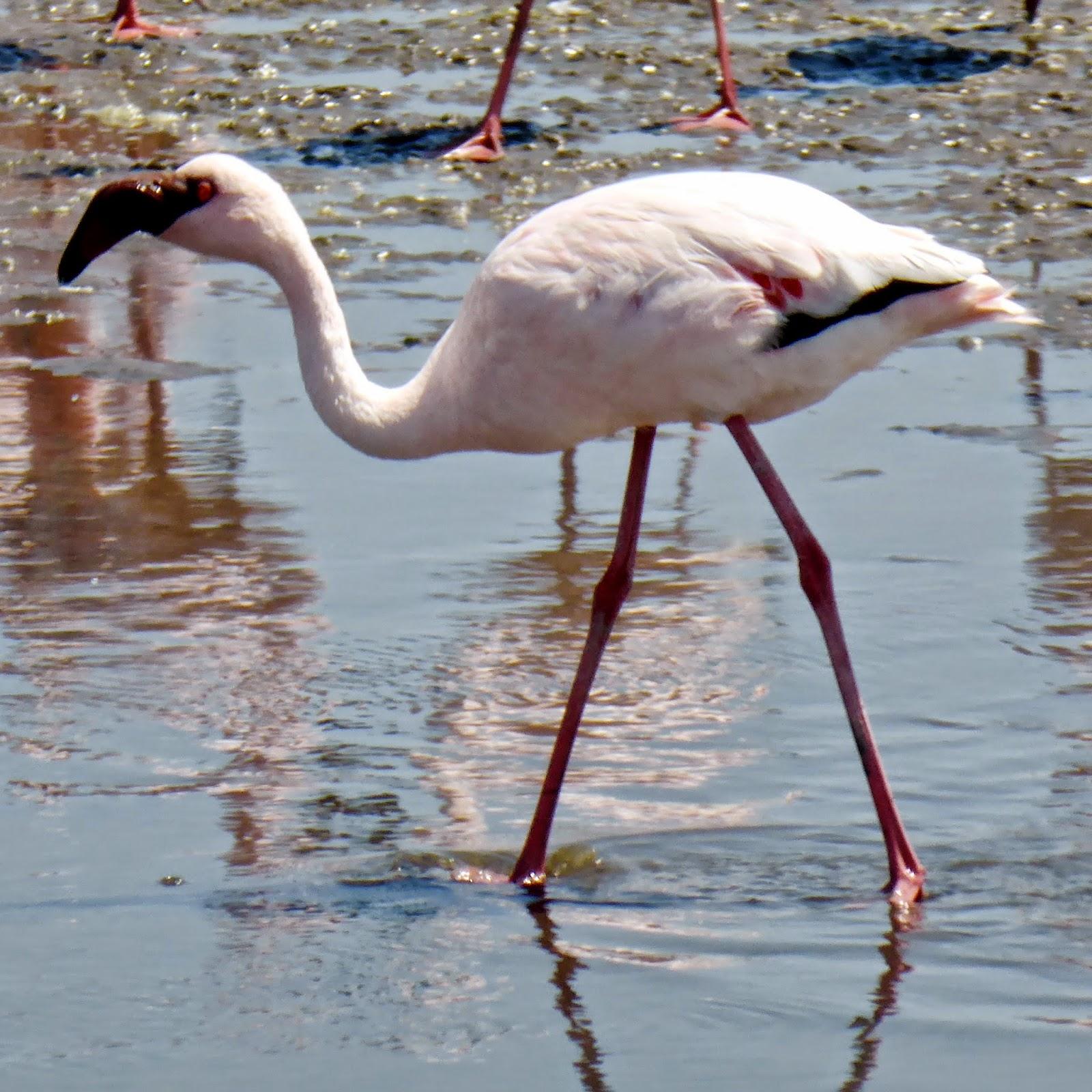 Flamingo's in Swakopmund.jpg