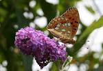 Skovperlemorsommerfugl.2.jpg