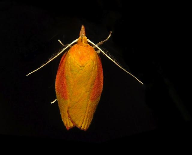 Oecophoridae : Oecophorinae : Eulechria electrodes MEYRICK, 1884 (?). Umina Beach (NSW, Australie), 25 octobre 2011. Photo : Barbara Kedzierski
