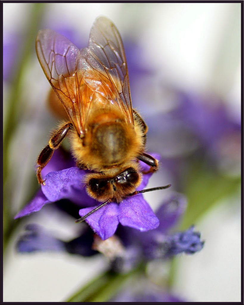 """Bee on Lavender"" by Sally Harris -- Honorable Mention B general"