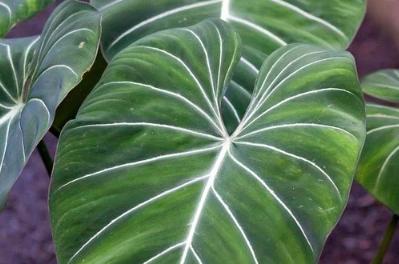 Macam macam Tanaman Hias 4. Philodendron