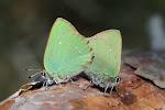 Grøn busksommerfugl - parring.jpg
