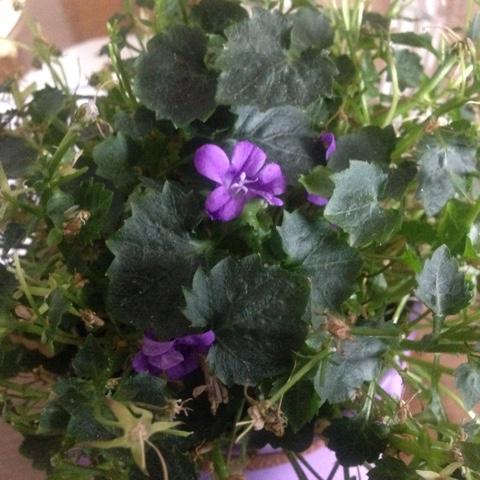Zimmerpflanze mit neuen Blüten