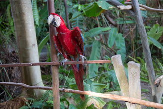 Photo: コンゴウインコ (Scarlet Macaw)