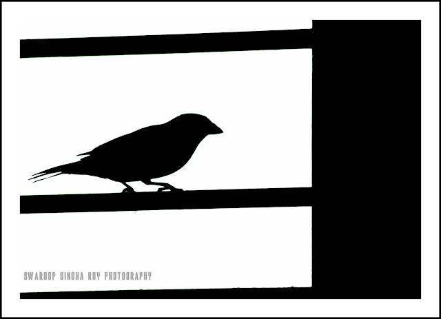 sparrow, swaroop sinha roy