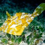 Weedy Filefish, Mabul Island, Malaysia