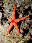 Pearl sea star (Fromia monilis)