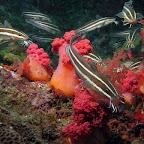 Catfish (Malapascua)